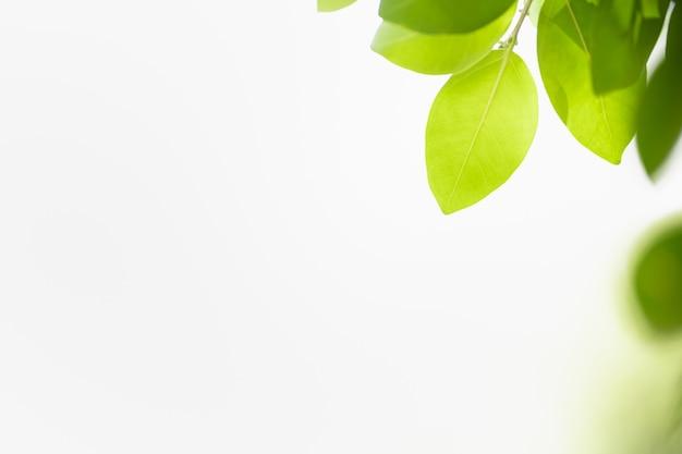 Bella foglia verde di vista della natura su pianta vaga e fondo del cielo bianco con lo spazio della copia