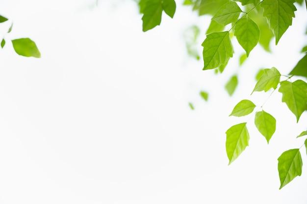 Bella foglia verde di vista della natura sul fondo del cielo bianco sotto la luce solare con lo spazio della copia