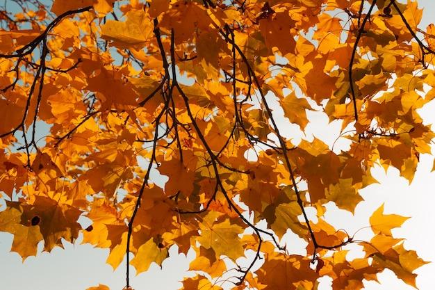 Belle foglie di autunno arancione su uno sfondo di cielo turchese