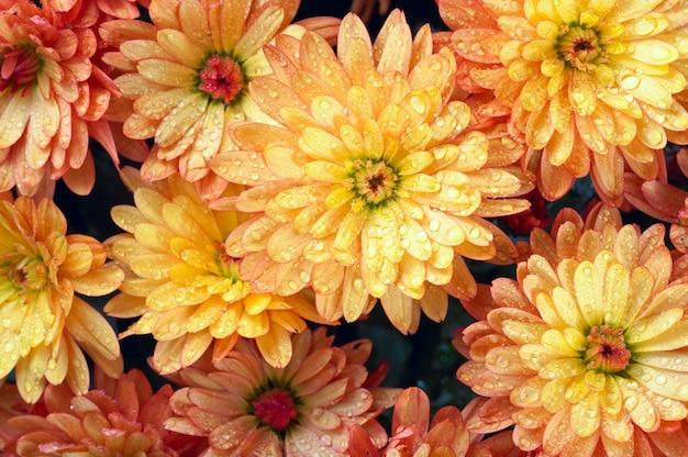 Bellissimo fiore di crisantemo arancione autunno vivido sfondo con rugiada