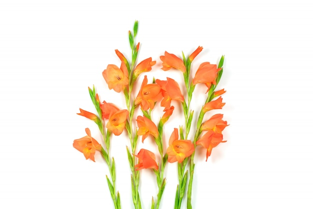 Bello fiore arancio di gladiolo su fondo bianco