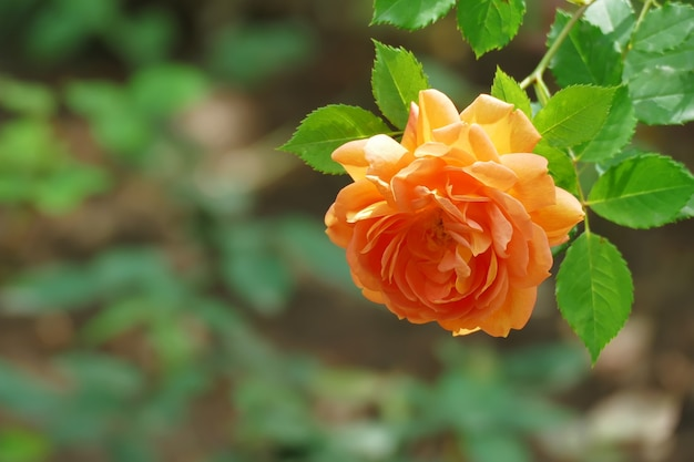 Bella rosa arancione con copia spazio rosa