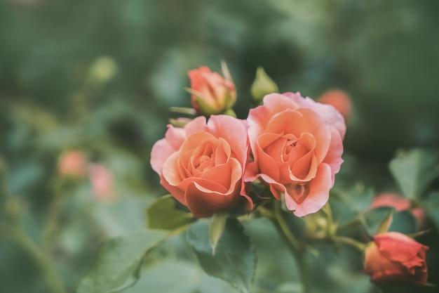Belle rose arancioni nel giardino. vista dall'alto.