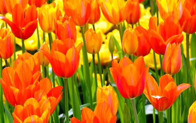 Bello primo piano arancio dei tulipani nel parco di primavera