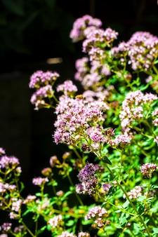 Bellissimi fiori di origano su sfondo nero
