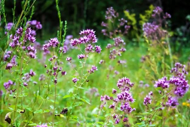 Bei fiori dell'origano su un prato di estate