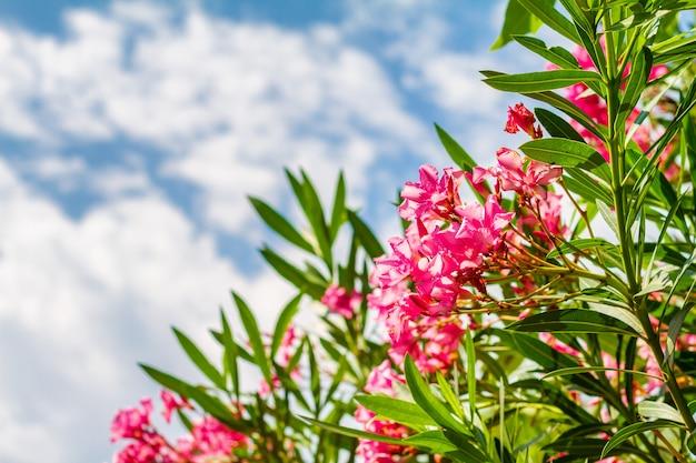 Bella pianta arbustiva all'aperto con fiori rosa oleandro