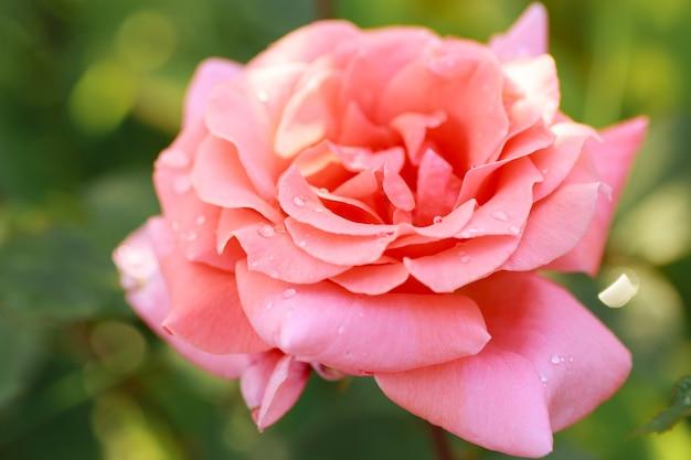 Bella rosa rosa pallido in primo piano giardino