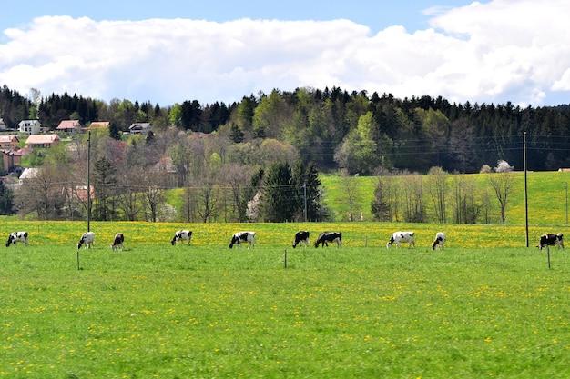 Bella vista panoramica sulla campagna con case coloniche e mucche al pascolo su prati verdi