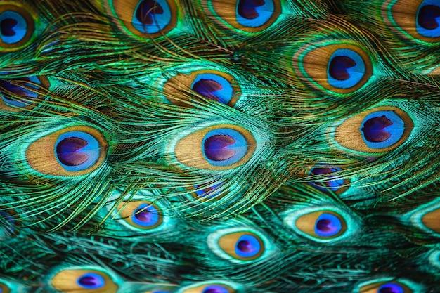 Belle piume di coda di uccello pavone in primo piano