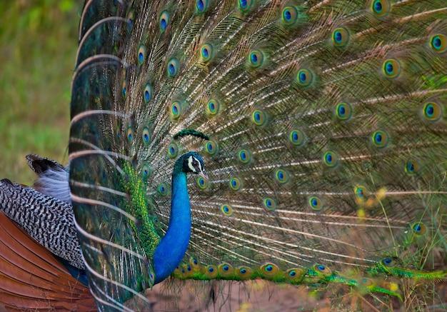 Bellissimo pavone con coda colorata