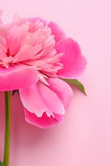 Bellissimo fiore di peonia su sfondo colorato, primo piano