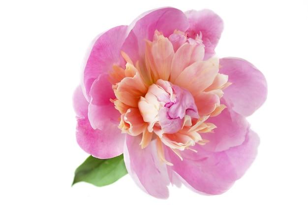 Bellissimo fiore di peonia isolato