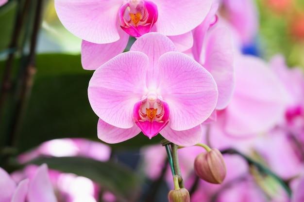 Bello fiore dell'orchidea di phalaenopsis che fiorisce nel fondo floreale del giardino