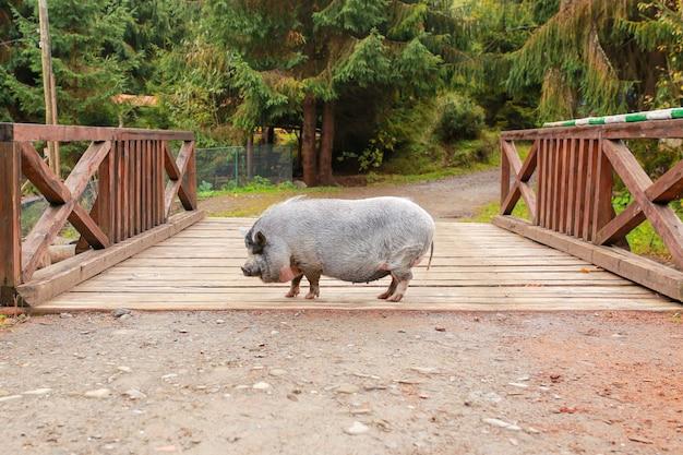 Maiale bellissimo maiale grigio con il naso bagnato. l'animale cammina attraverso la foresta. anno del maiale cinghiale. animale selvaggio. maiale divertente