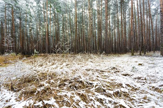 Bella pineta coperta da neve che si scioglie al giorno di primavera