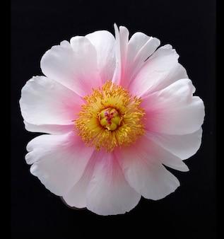 Bella macro di fiore di peonia in fiore rosa su sfondo nero