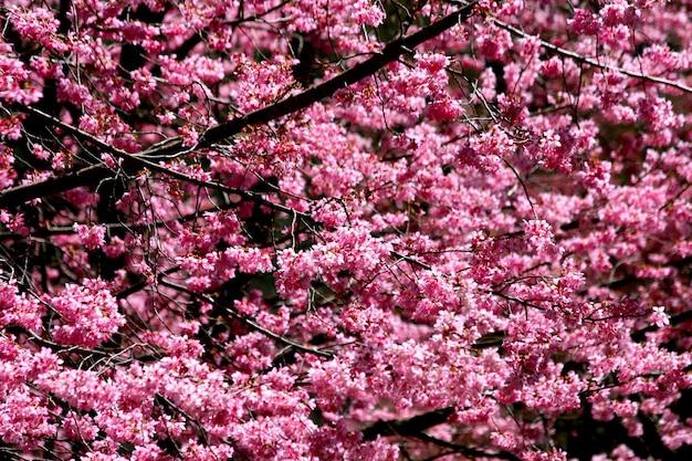 Bellissimi fiori di ciliegio rosa in piena fioritura
