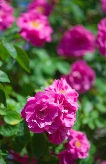 Di un bel colore rosa rose rampicanti in primavera in giardino