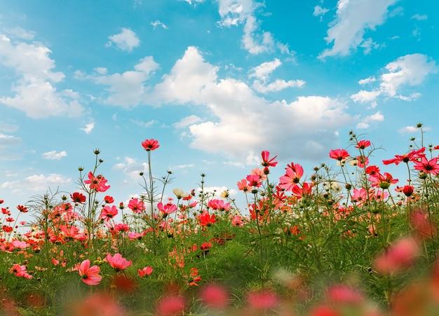 Bellissimi fiori rosa cosmo in giardino