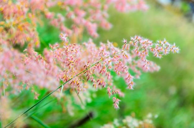 Bellissimo fiore rosa di melinis repens o rose natal grass