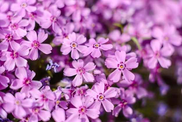 Bellissimi fiori rosa contro piante verdi nel giardino primaverile, piante e fiori