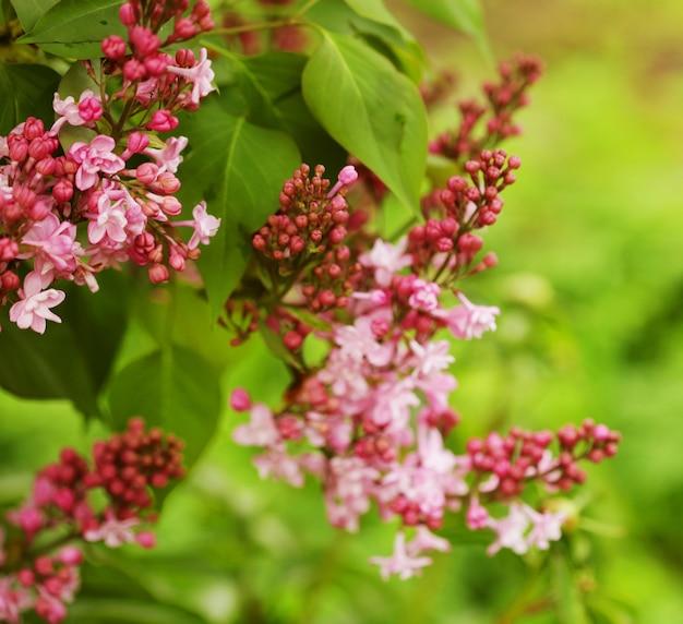 Bellissimi fiori rosa in giardino, estate