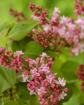 Bellissimi fiori rosa in giardino