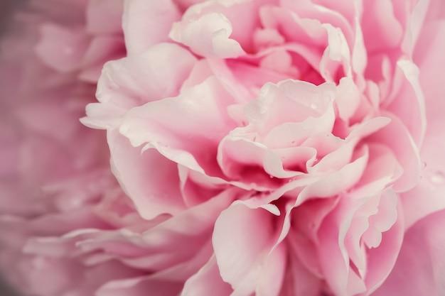 Bellissimi fiori freschi rosa e boccioli grandi peonie con gocce dopo la pioggia da vicino