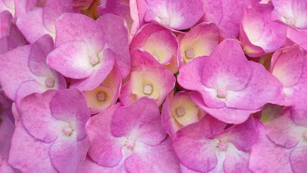 Bella hortensia rosa da vicino. sfondo naturale artistico.