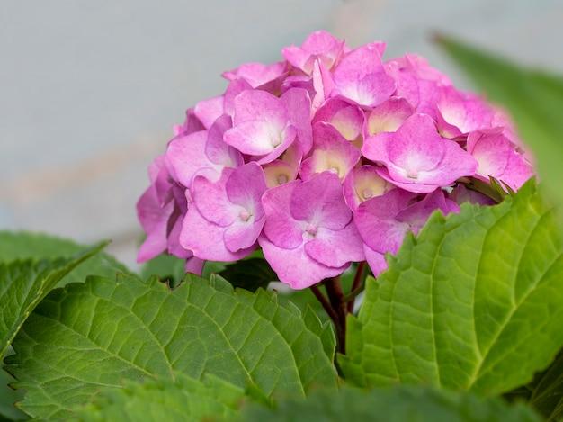 Bella hortensia rosa da vicino.