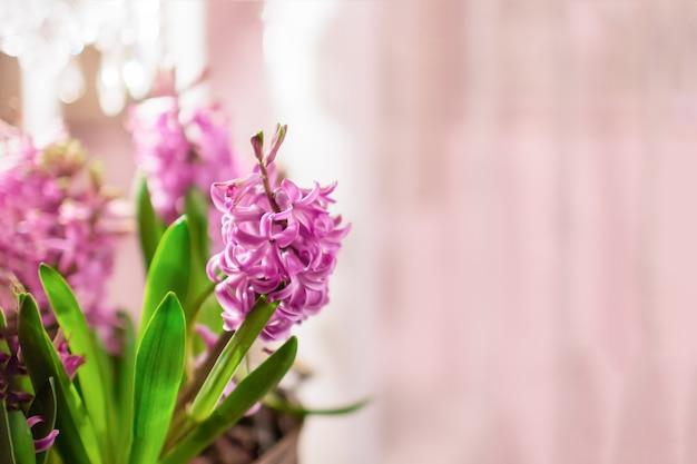 Di un bel colore rosa fiori di giacinto su uno sfondo rosa pallido, copia dello spazio