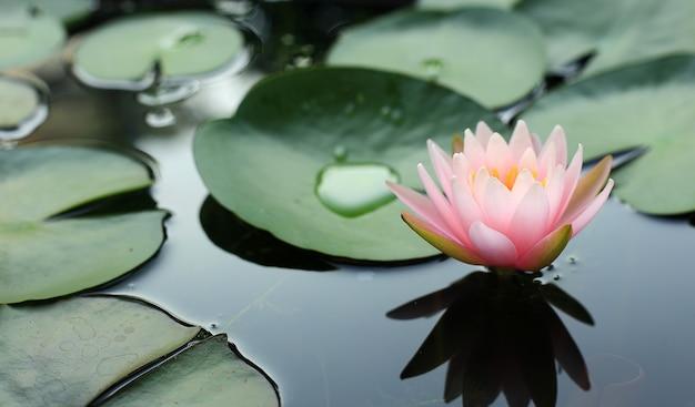 Bello fiore rosa del fiore di loto di mattina