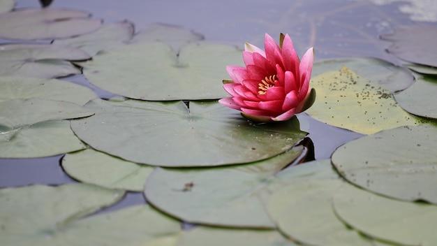 Bellissimo loto rosa nel lago. vista orizzontale. luce naturale.