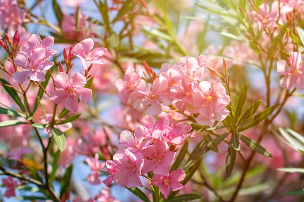 Di un bel colore rosa nerium oleander fiori su una luminosa giornata estiva. flora.