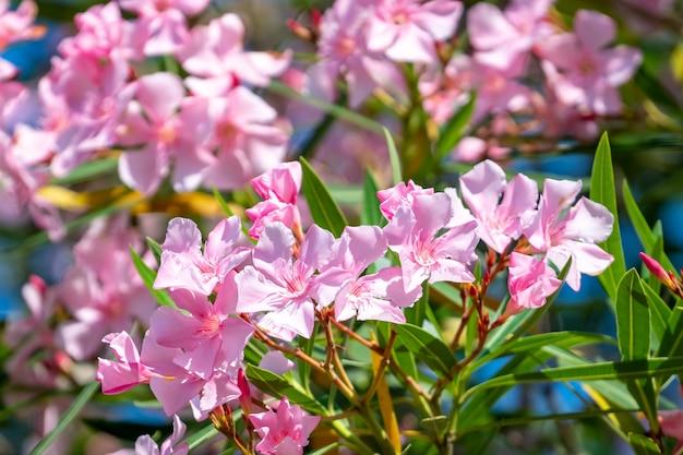 Di un bel colore rosa nerium oleander fiori su una luminosa giornata estiva. flora