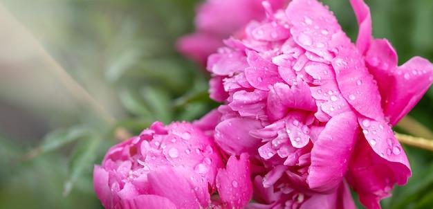 Belle peonie rosa in giardino