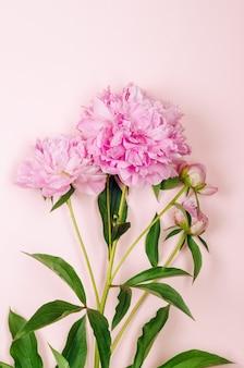 Bellissimi fiori di peonia rosa su sfondo rosa pastello con posto per il testo