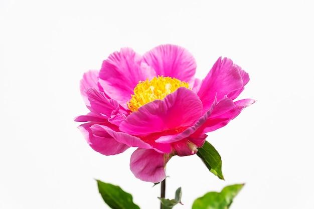 Bellissimi fiori di peonia rosa su bianco