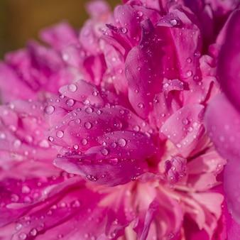 Bella peonia rosa con gocce di pioggia in giardino, macro. peonie di fiori con gocce, primo piano