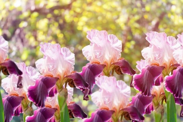 Bellissimi fiori di iris rosa e viola in giardino. bellissimi fiori estivi di iris. fiori di iris primaverili.