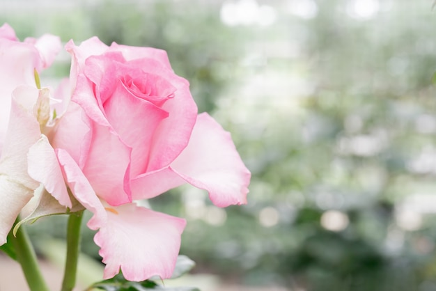 Bella rosa rosa. una pianta ornamentale coltivata in giardino.