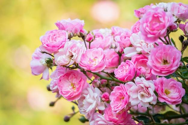 Fiore di belle rose rosa nel giardino