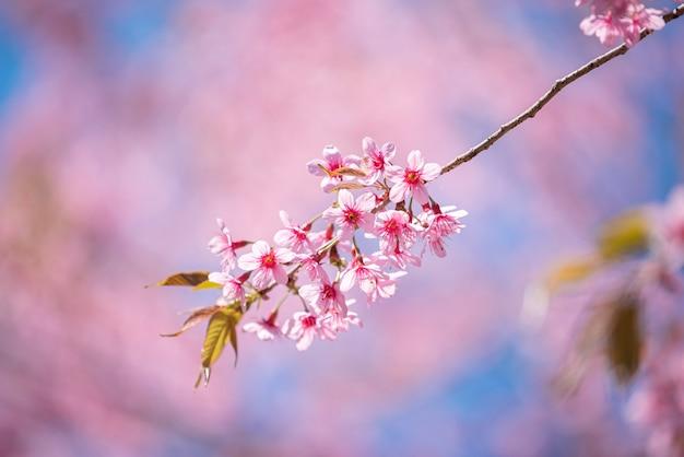 Di un bel colore rosa sakura fiore che sboccia sul cielo blu sullo sfondo