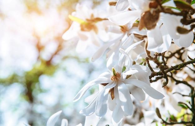 Magnolia rosa bella dei fiori della molla