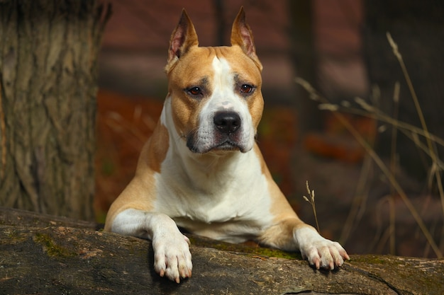 Bellissimo pitbull terrier in natura in estate. foto di alta qualità