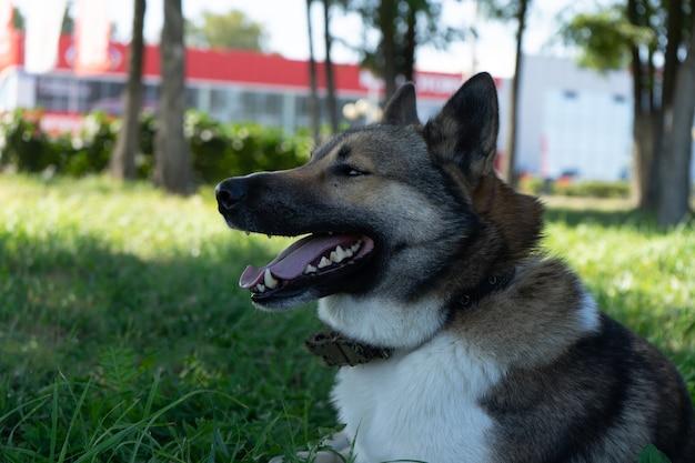 Bellissimo ritratto di un cane. laika siberiana. bellissimo husky. il cane è il migliore amico dell'uomo.