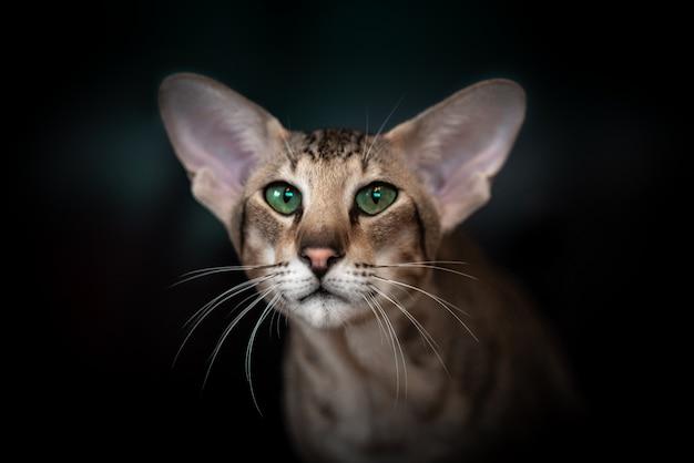 Bellissimo ritratto di un gatto orientale su sfondo nero.