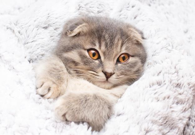 Bellissimo ritratto di razza di gatto scottish fold piega su bianco