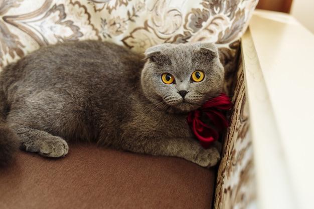 Bellissimo ritratto di un gatto scottish fold